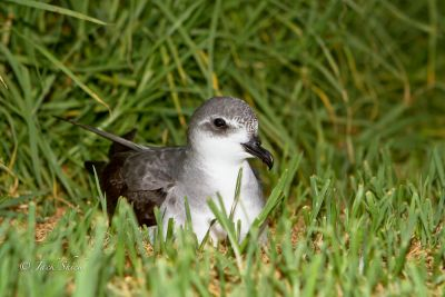 Black-winged Petrel