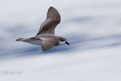 Black Winged Petrel