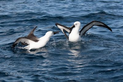 Indian Yellow-nosed Albatross