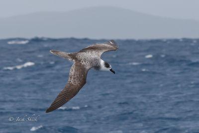 white-necked-petrel