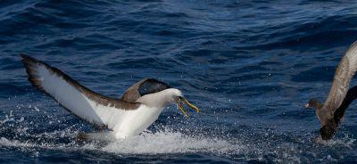 Bullers-Albatross