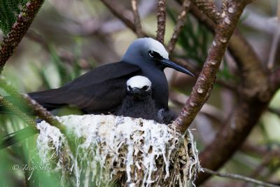 black-noddy