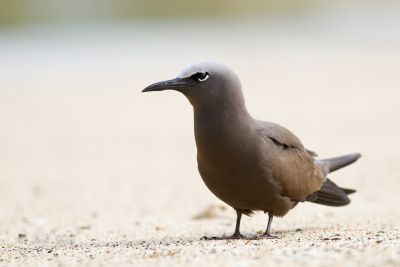 brown-noddy