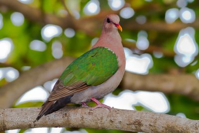 emerald ground dove 0435