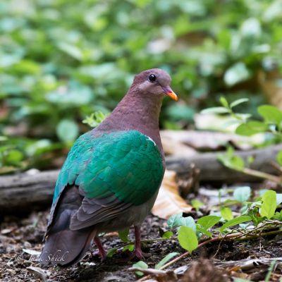 emerald ground dove 5937