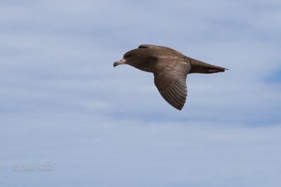 flesh-footed-shearwater
