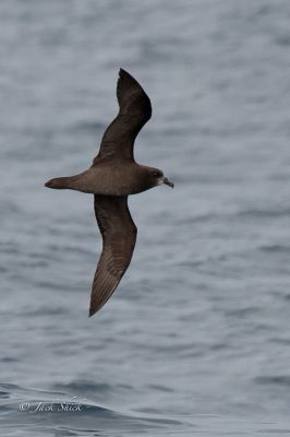 Great Winged Petrel