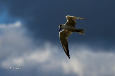 whiskered-tern