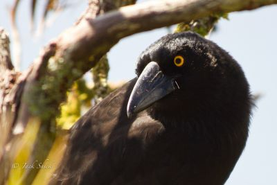 Lord howe Island currawong