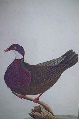 lord howe pigeon