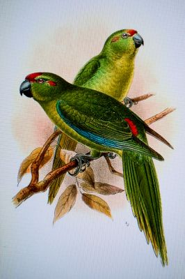 lord howe red crowned parakeet
