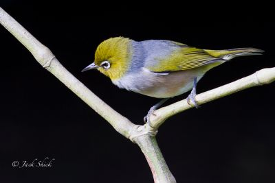 lord howe white eye