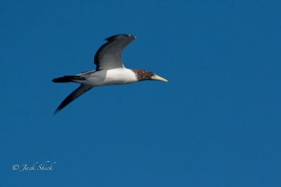 masked-booby