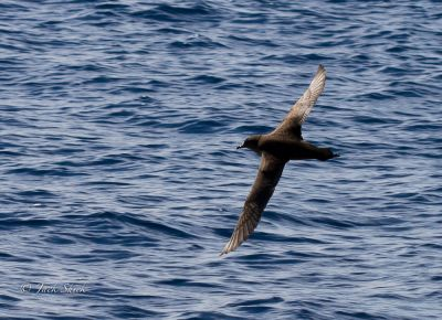 short-tailed-shearwater