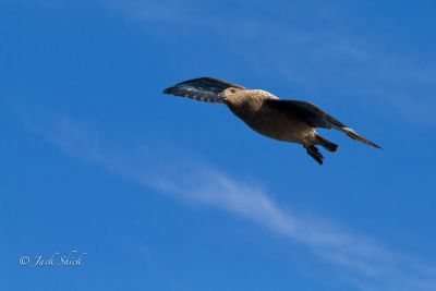 south-polar-skua