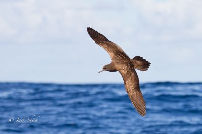 wedge-tailed-shearwater