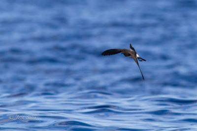White bellied storm petrel