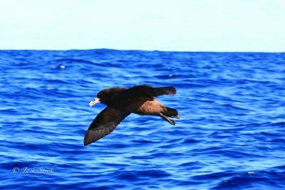 white-chinned-petrel