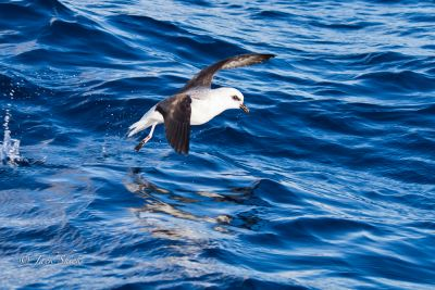 white-headed-petrel