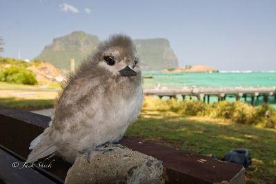 white-tern